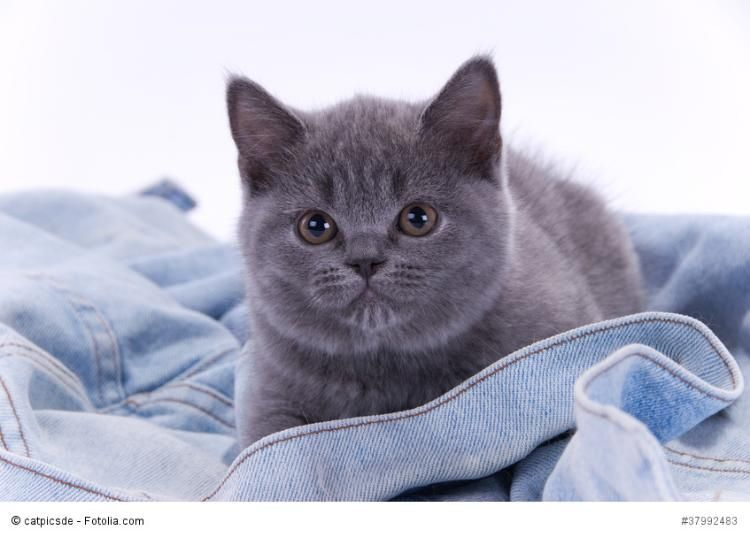 Bkh Kitten Britisch Kurzhaar Babies Vom Zuchter Abzugeben