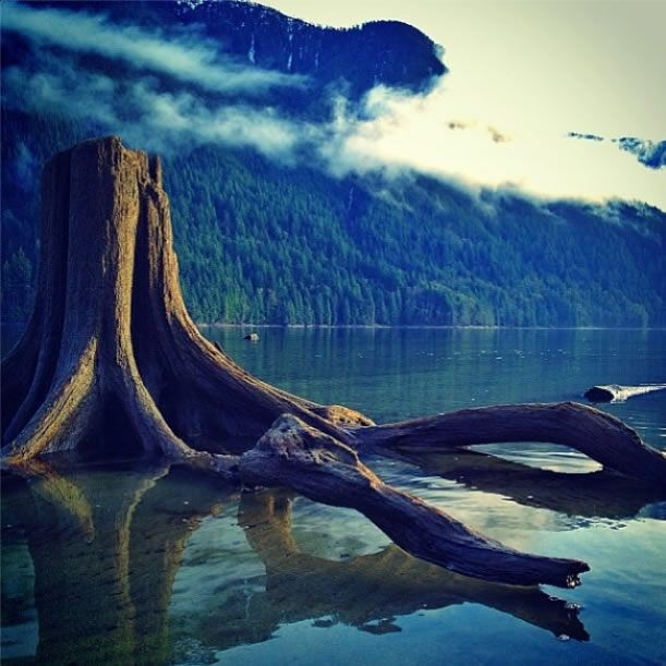 """""""This giant looking driftwood tree actually stands at only 2-3 feet tall."""" says BC #guestagrammer @Michael Dussert Plaid of this Golden Ears Provincial Park scene. #explorebc #explorecanada"""