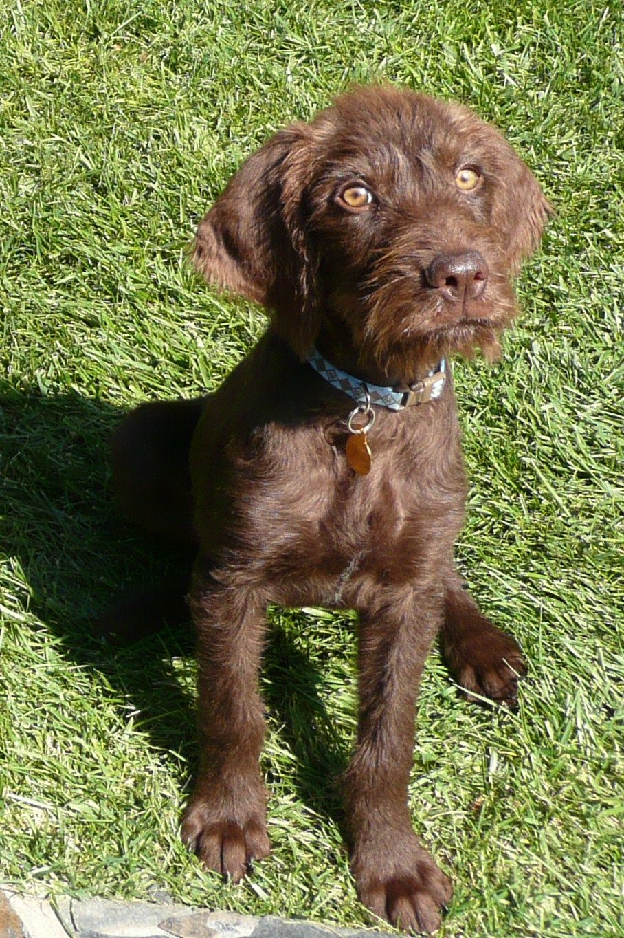 Pudelpointer Pup This Is What Kyle And I S Next Pup Will Be