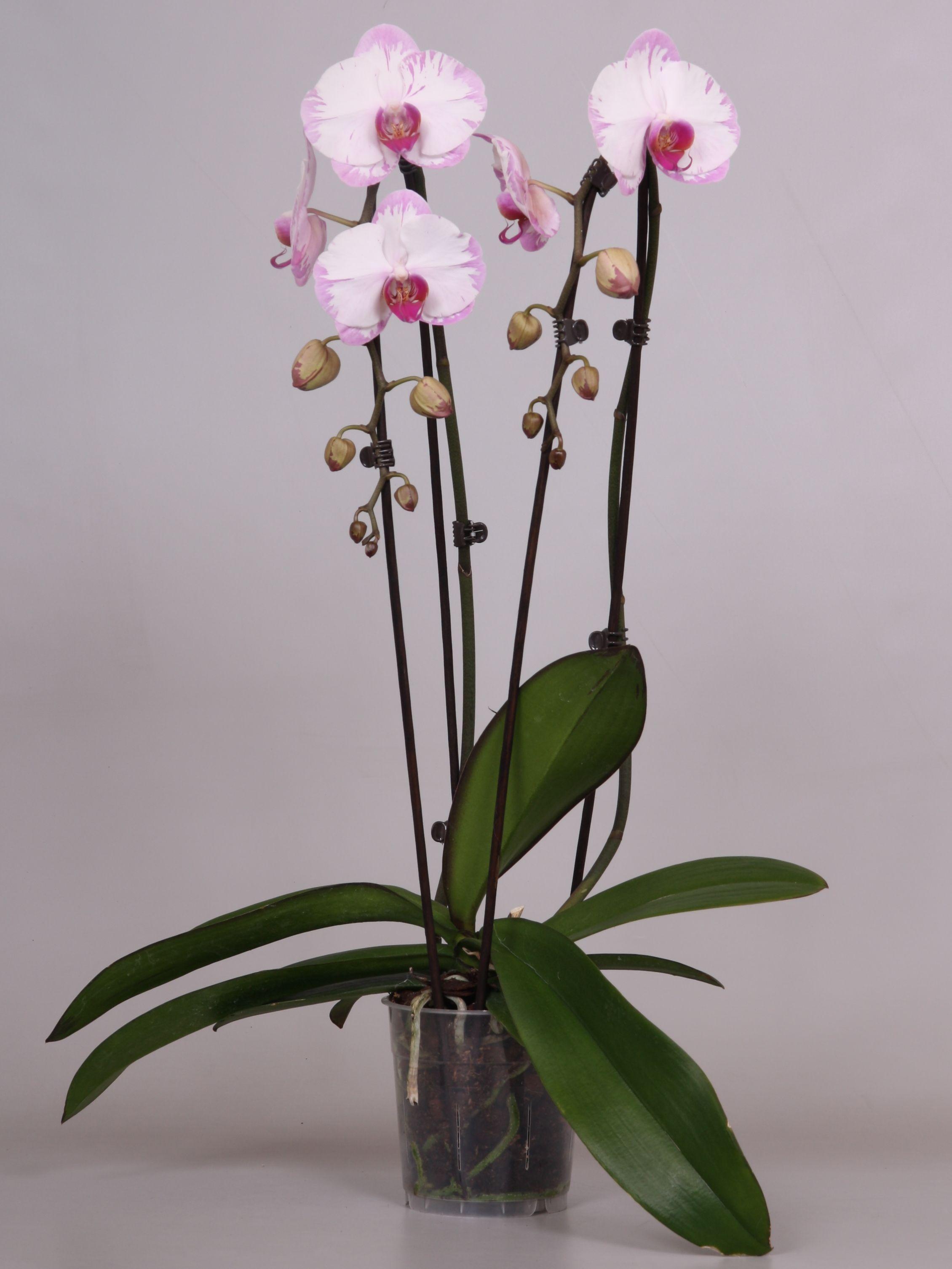Cascadez Minho Lightning Orchids Garden Orchids Flowers