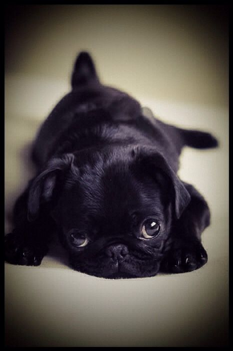 Pin By L Hart On The Ark Animals Big Small Black Pug Puppies