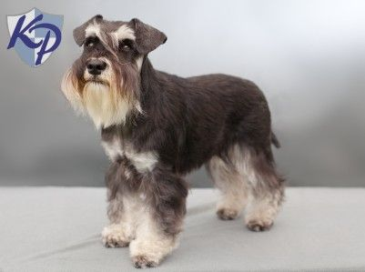Mini Schnauzer Puppies For Sale Sewing Pinterest Schnauzer