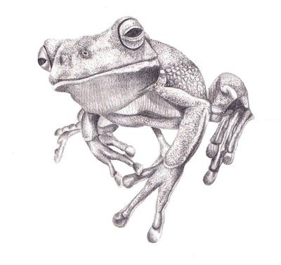 Pencil Drawing - White Lipped Tree Frog Art Print | art | Pinterest ...