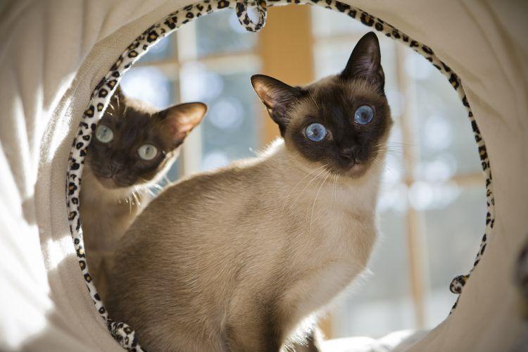 The Sweet Smart And Social Tonkinese Cat In 2020 Katzenrassen