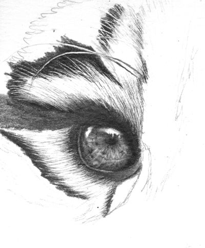 A pencil drawing tutorial on how to draw realistic tiger eyes
