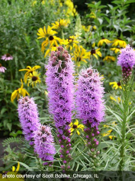 Liatris Spicata Dense Blazing Star Prairie Flower Liatris Pink Perennials