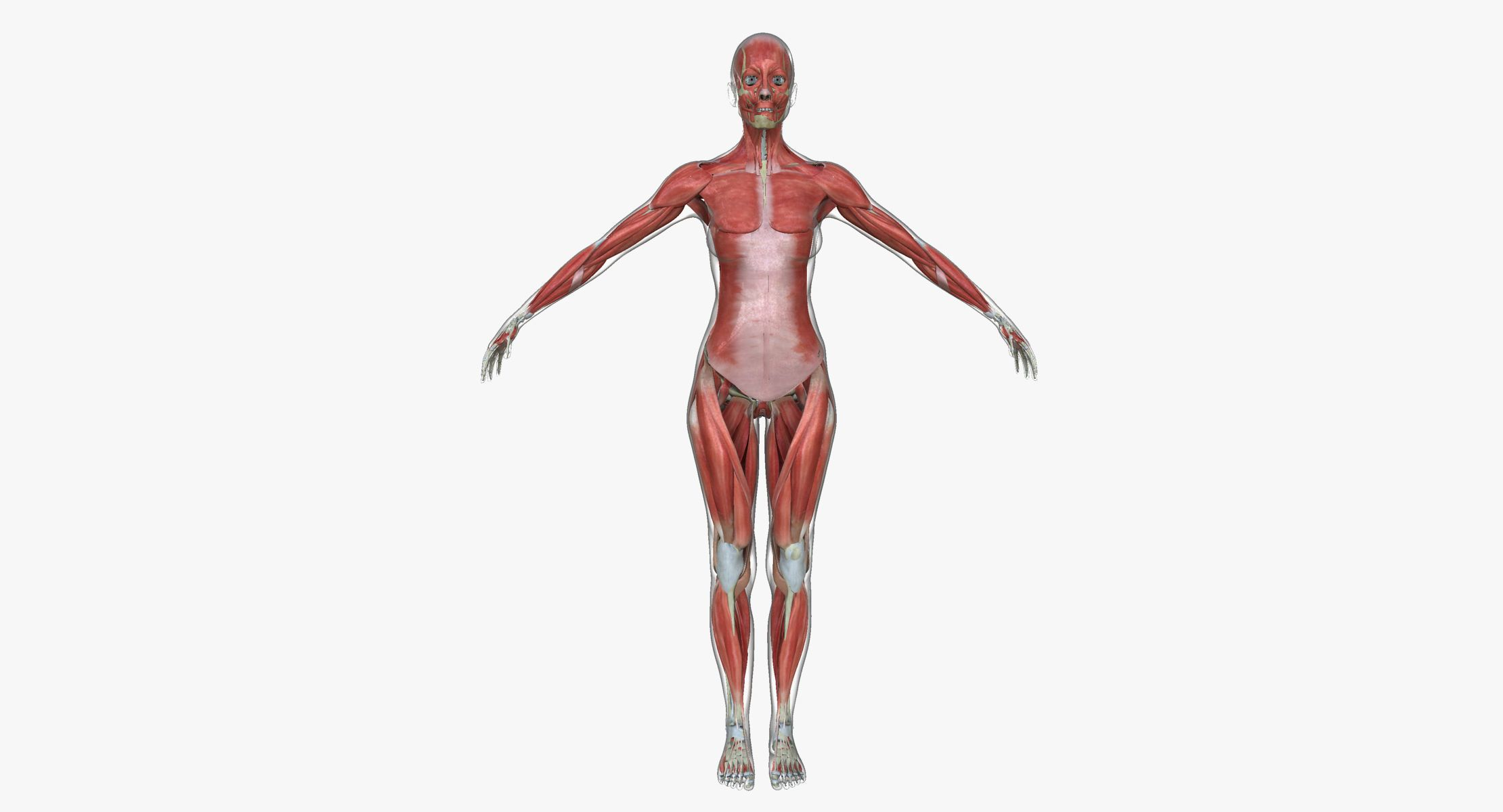 Muscle Anatomy Medical Edition Female | 3D model | 3D Characters ...