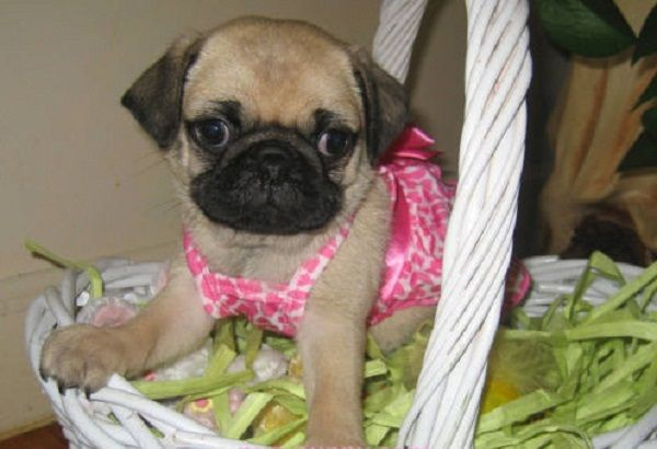 Pug Puppies For Sale In Ct Zoe Fans Blog Pug Puppies For Sale