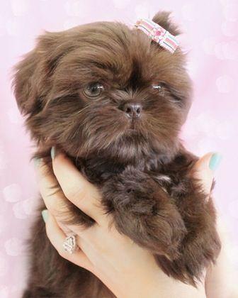 Cute Chocolate Puppy Note From Zam Shih Tzu Puppy Shih Tzu