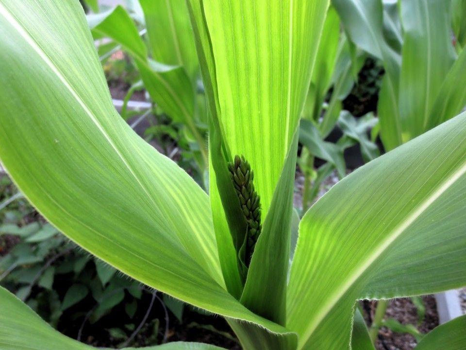 Corn Flower Best Flower