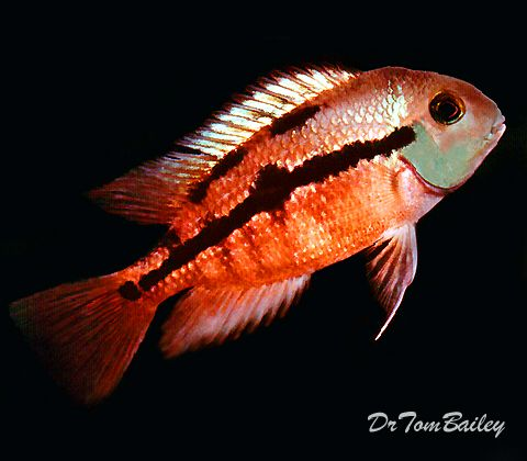 Sunset Cichlid Featured Item Sunset Cichlid Cichlids Fish Petfish Aquarium Aquariums Freshwater Fre Aquarium Fish Cichlid Fish Fresh Water Fish Tank
