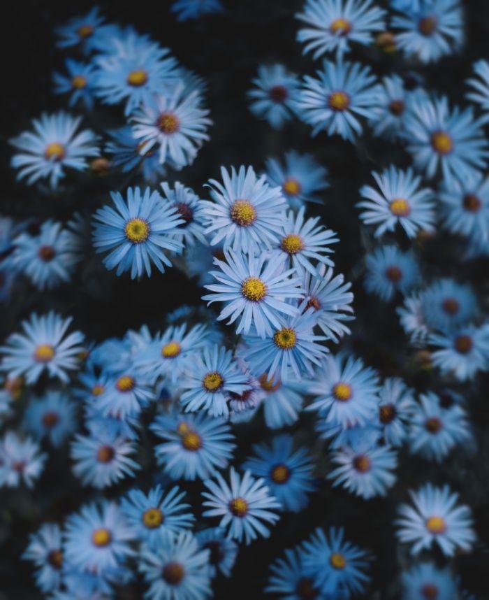 Blue Asters Art Print By Tasha Marie Society6 Blue Aesthetic Pastel Blue Aesthetic Aster Flower