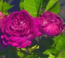 Rosa x liane Bleu Magenta