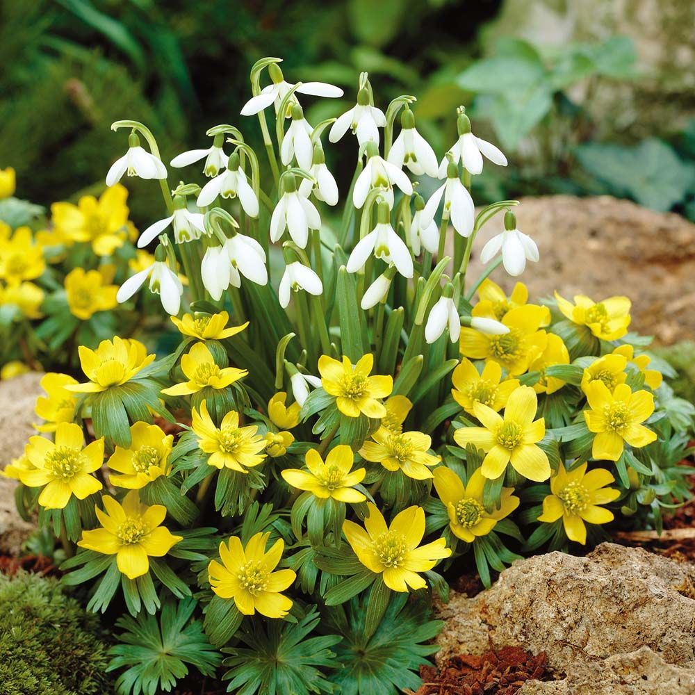 winter garden fresh flowers unfurl aconites eranthis hyemalis