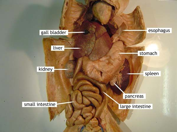 Cat Dissection Digestive System Avoiding Animal Products