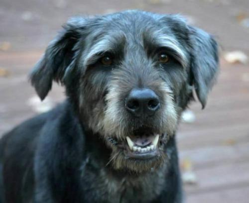 Kudzu Is An Adoptable Irish Wolfhound Labrador Retriever