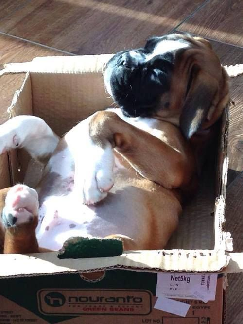 Boxer in a box!
