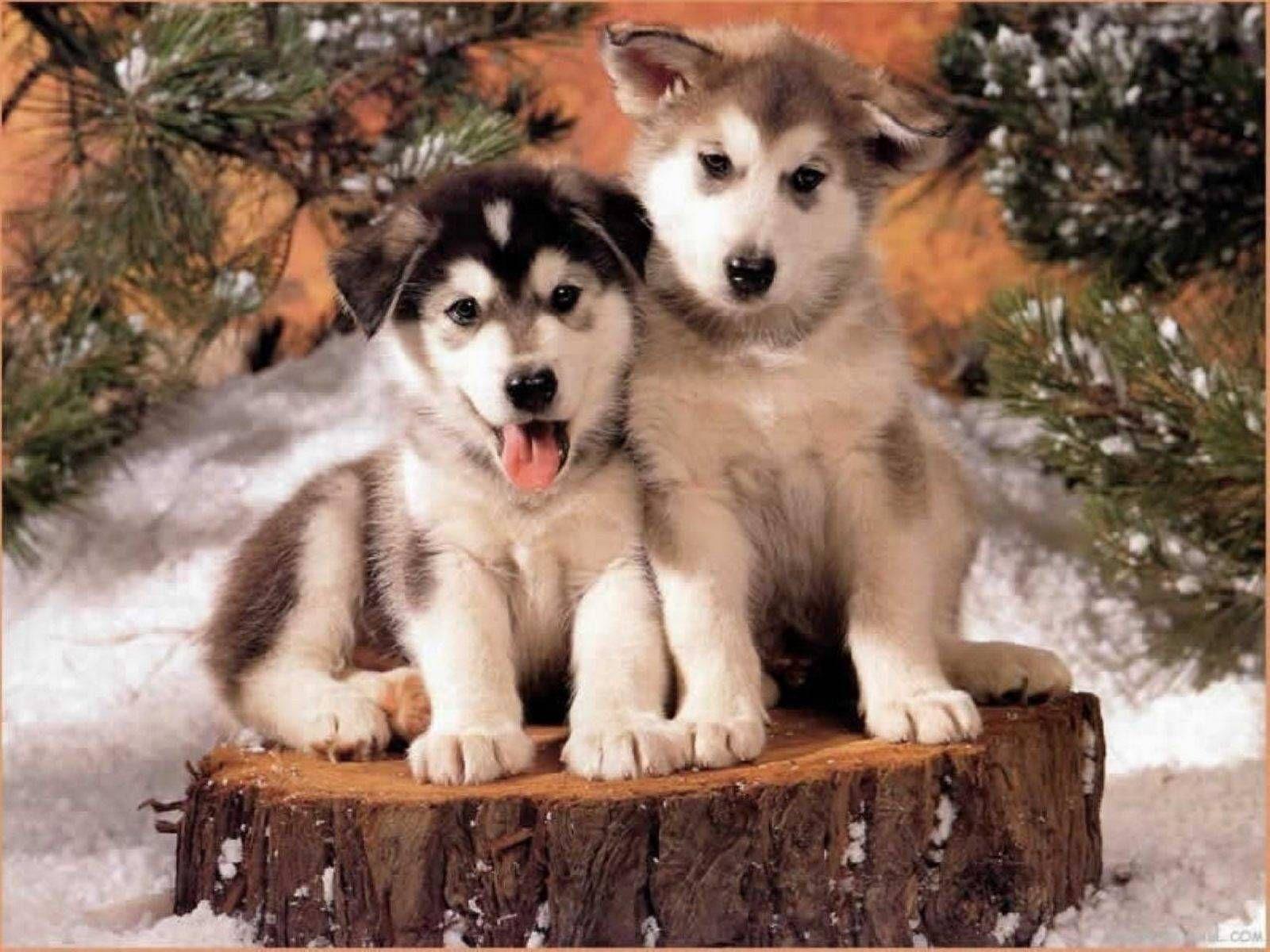 Husky Cute Puppies Husky Wallpaper Cute Animals Cute Husky Puppies Cute Puppies