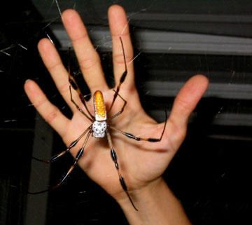 The Amazing Banana Spider Banana Spiders Are Found In Most Parts Of