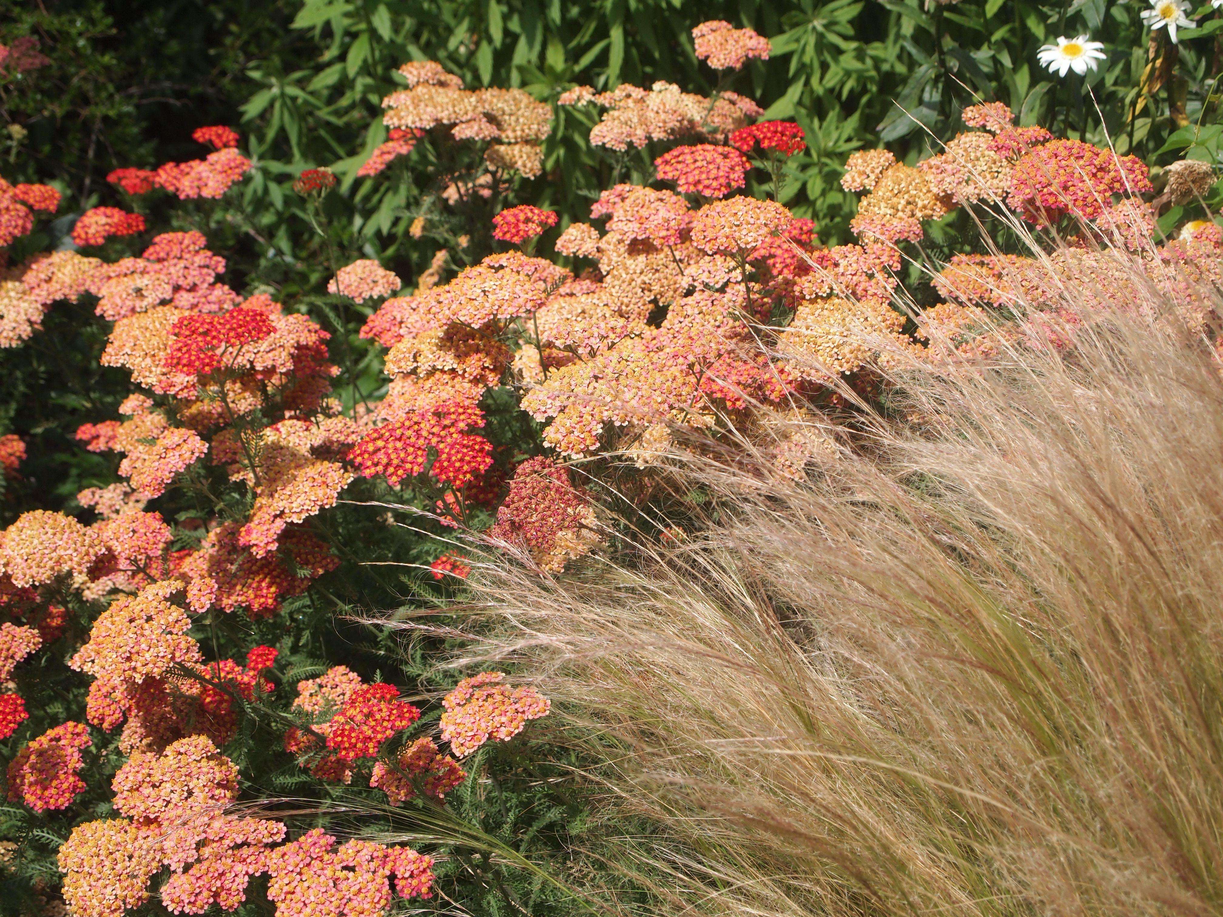 Achillea Terracotta Anemanthele Lessoniana At Rhs Wisley July 2016 Garden Shrubs Beautiful Gardens Shrubs