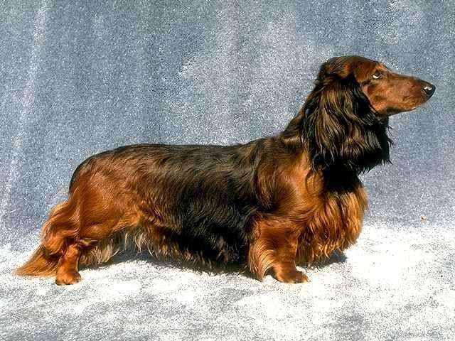 Fairy Hair Layers With Dachshund Longhaired Dog Breeds Dog Com