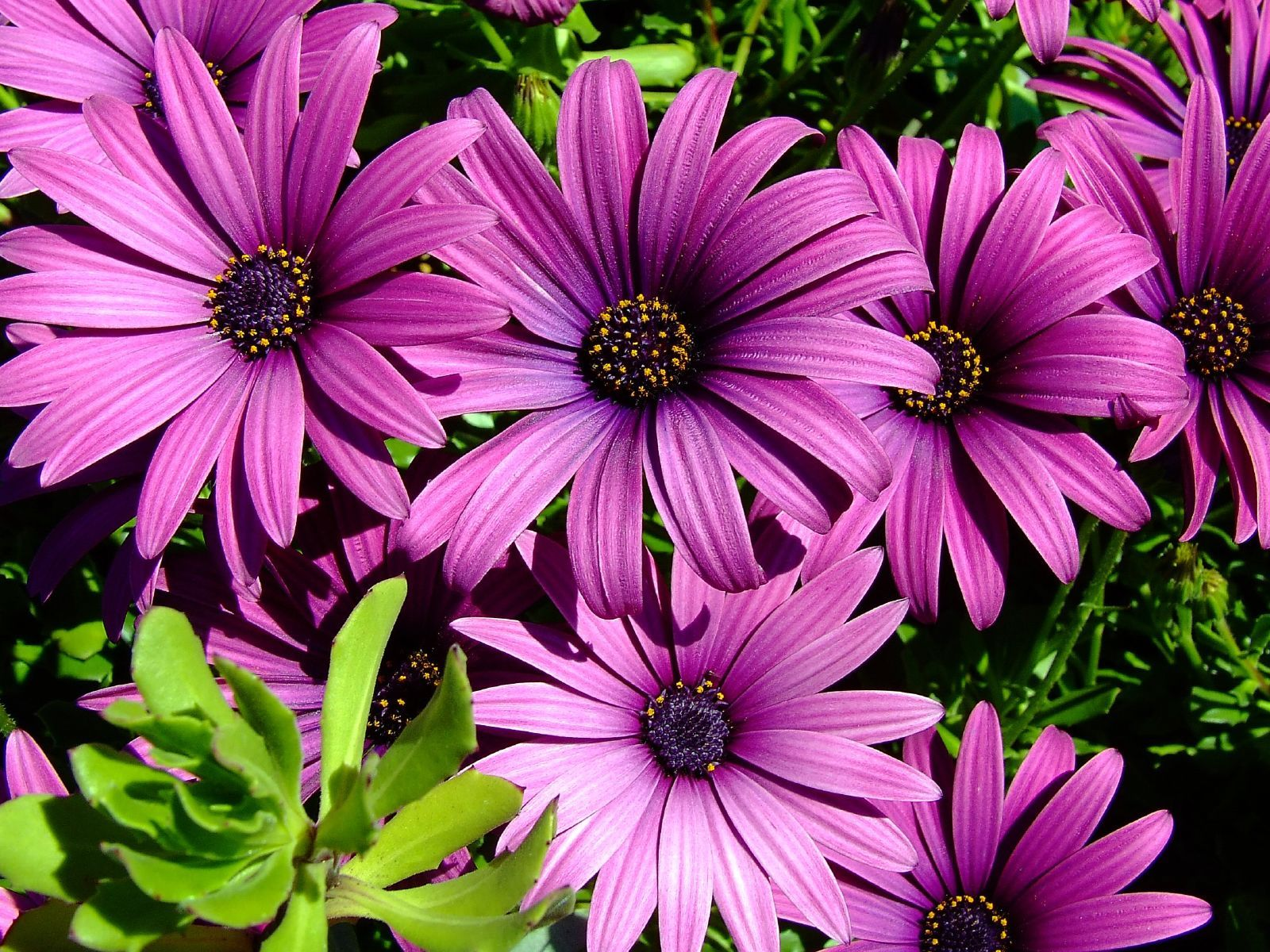 Types of purple flowers purple daisy tattoo ideas pinterest types of purple flowers purple daisy izmirmasajfo