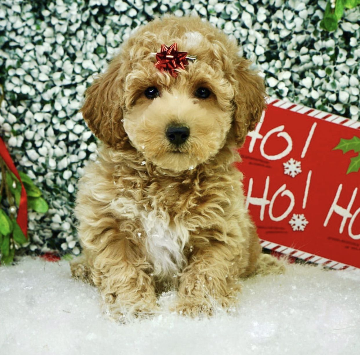 Bichpoo Puppies For Sale In Ny 2021