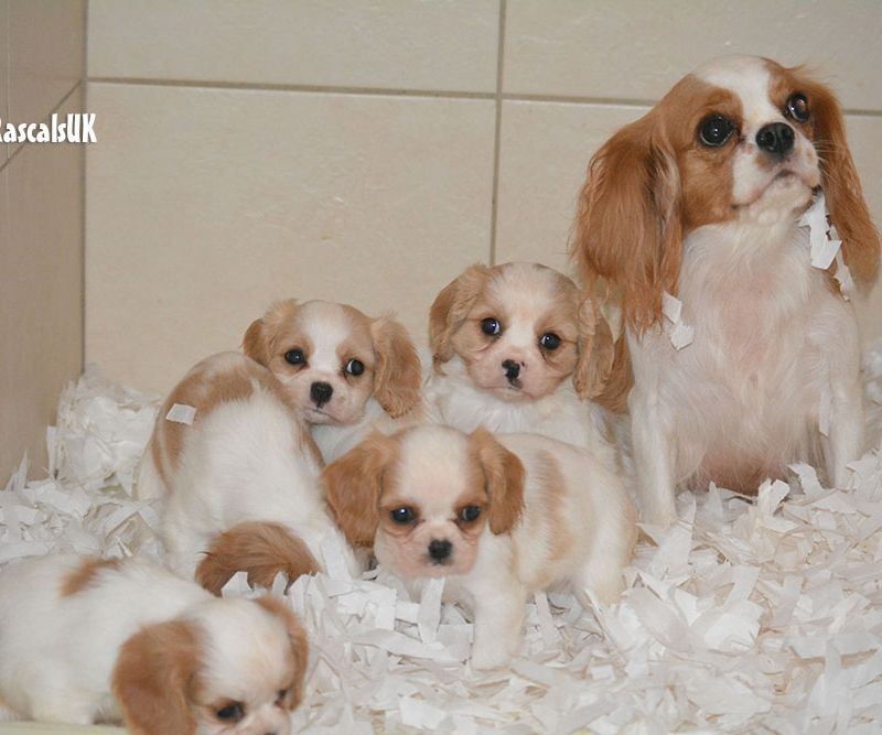 Cavalier King Charles Puppies for sale Little Rascals