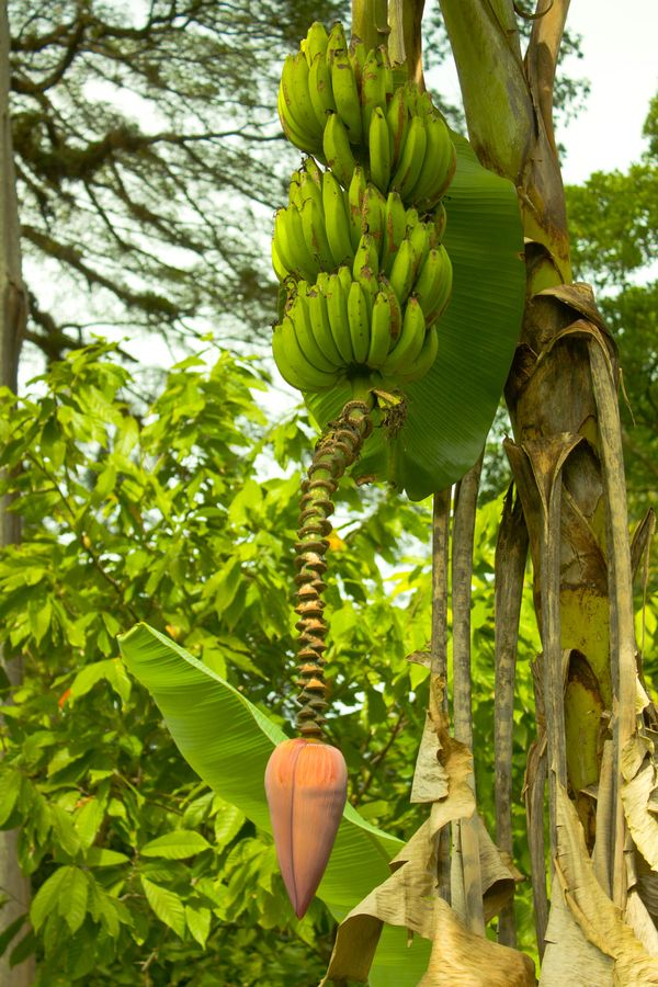 Plantain Tree Growing In Nicaragua Growing Plantains Is Just Like Growing Bananas Whereas Bananas Produce Sugar Plantains Produce Starch Plantains Are Pisang