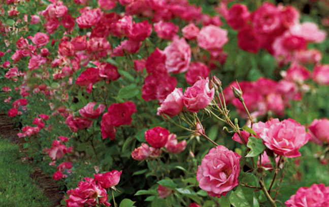 Simplicity Roses Grow Flowers Pinterest Planting Flowers And