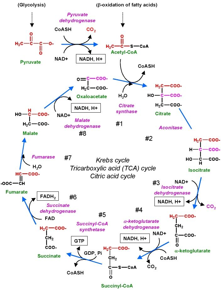 images about krebs cycle on pinterest   english wikipedia        images about krebs cycle on pinterest   english    carbon cycle and citric acid