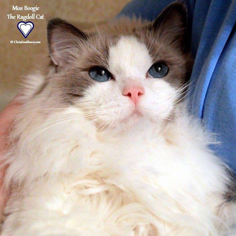 Miss Boogie Ragdoll Of The Week Ragdoll Cat Cute Cat Breeds Cats