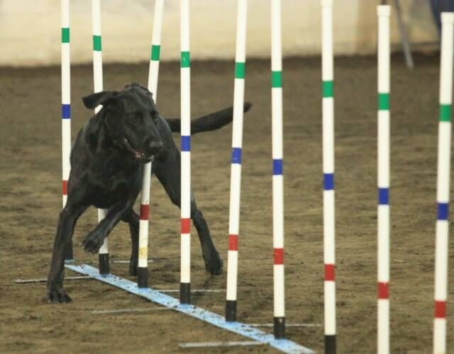 An information-based resource focusing on improving your dog's agility. Whether age or fatigue is the problem, or if you want more information on the sport of dog agility, you can find the answer here.