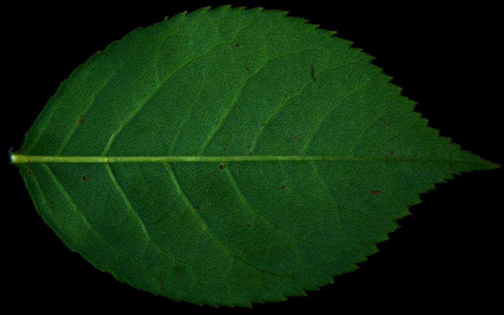 Rose Leaf Drawing Rose Leaf By R Ehr On Deviantart Rose Leaves Leaves Plant Leaves