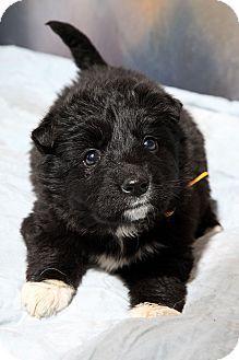 Adopted St Louis Mo Border Collie Husky Mix Meet Ziva