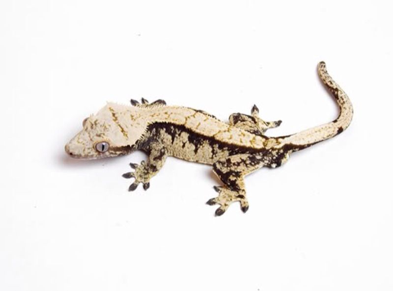 crested gecko | Eastern CB09 1 1 crested gecko fpr sale