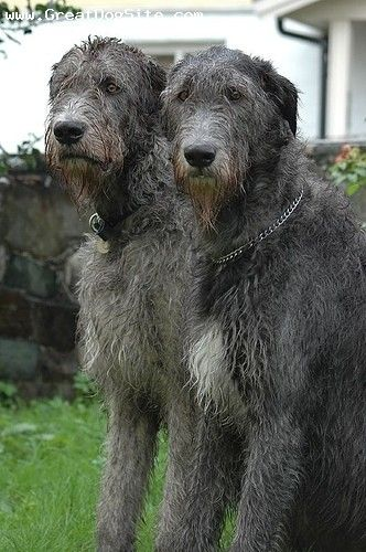The other day I thought I saw our Irish Wolfhound walking towards me in our family room....he looked a lot like the one on the right.
