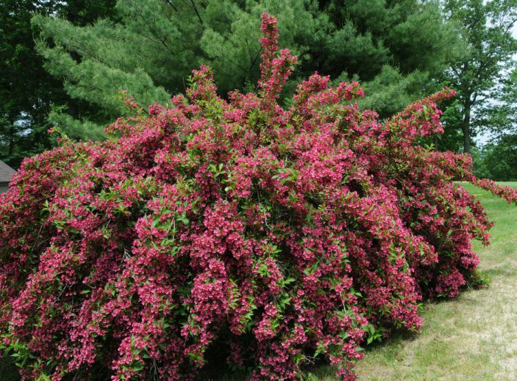 Large Shrub Or Hedge Weigela Bristol