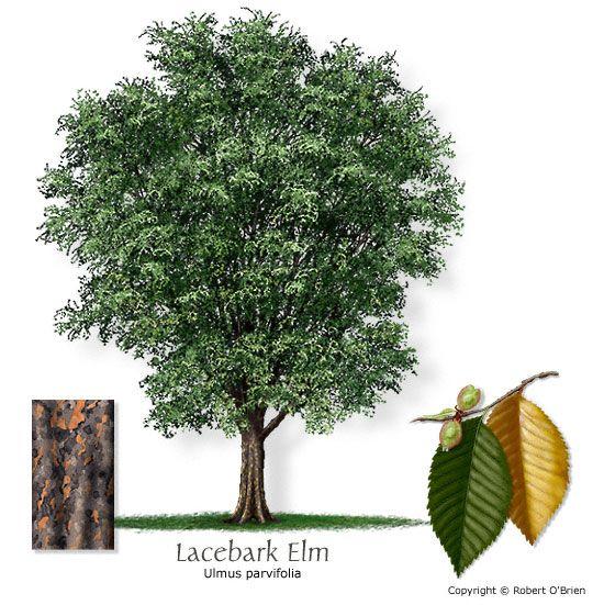 Lace Bark Elm Ulmus Parvifolia Chinese Elm Plants In