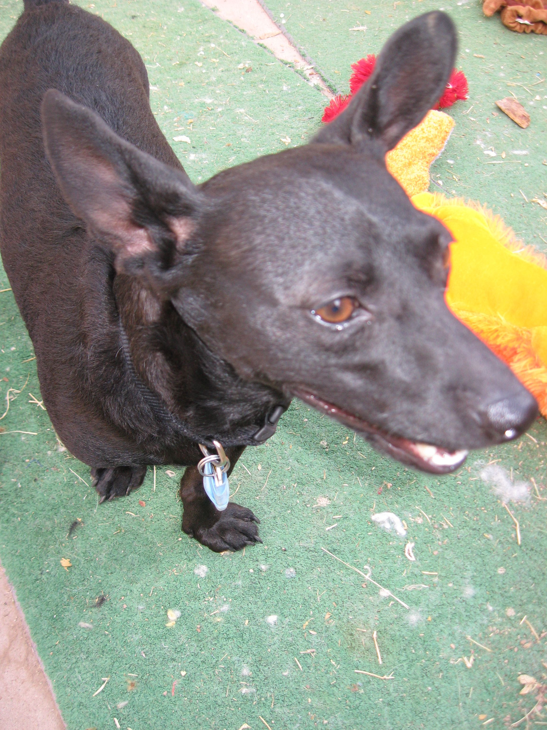 Handsome Roscoe Jet Black Chihuahua Dachshund Mix What A