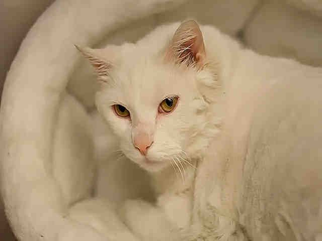 Snowball Pittsburgh Pa Petharbor Com Animal Shelter Adopt A Pet Dogs Cats Puppies Kittens Humane Society Spca Lost Animals Animal Shelter Kittens