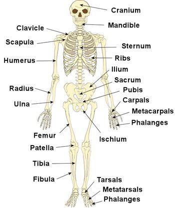 the human skelton labeling drawing of - yahoo search results yahoo, Skeleton