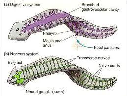platyhelminthes anatómia)