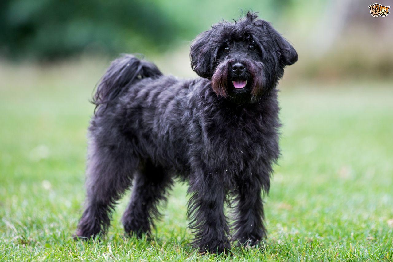 Schnoodle Schnoodle Dog Dog Breeds Dog Breeds List