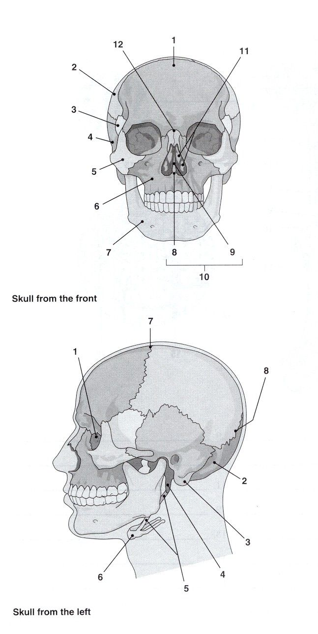 skull bones labeling exercise | for teachers skull labelling ...