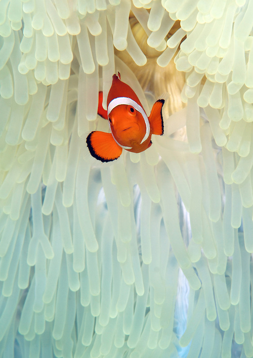 A Clown anemonefish on a white anemone by Steve De Neef
