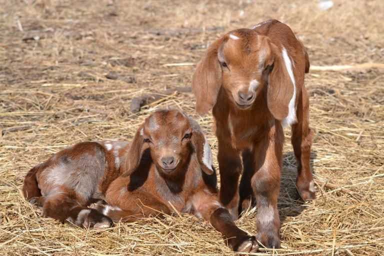 Contact us today supported goat farming ideas Keeping