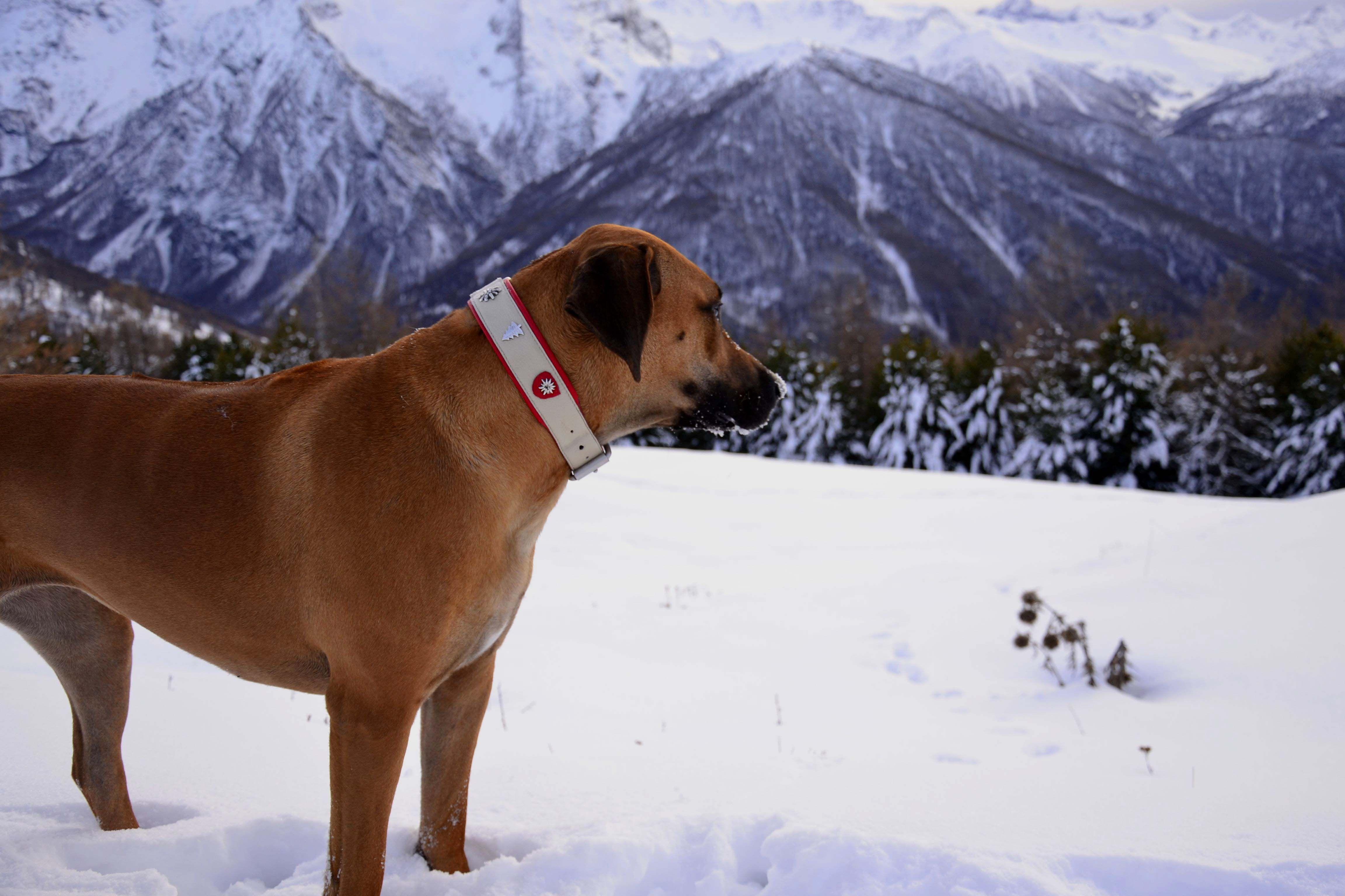 Nala, con il collare Sogliola Christmas, si diverte mangiando la neve!!! www.isiandfriends.it