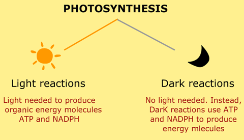 What Are Light And Dark Reactions Biology Pinterest