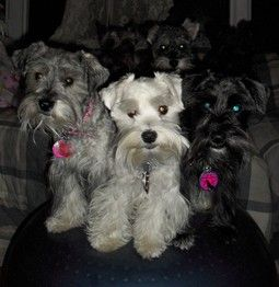 All time faves! | A community of Schnauzer lovers! O' I wish I could introduced to these cuties....